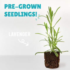 4 Pack of Pre-Grown Lavender Seedlings