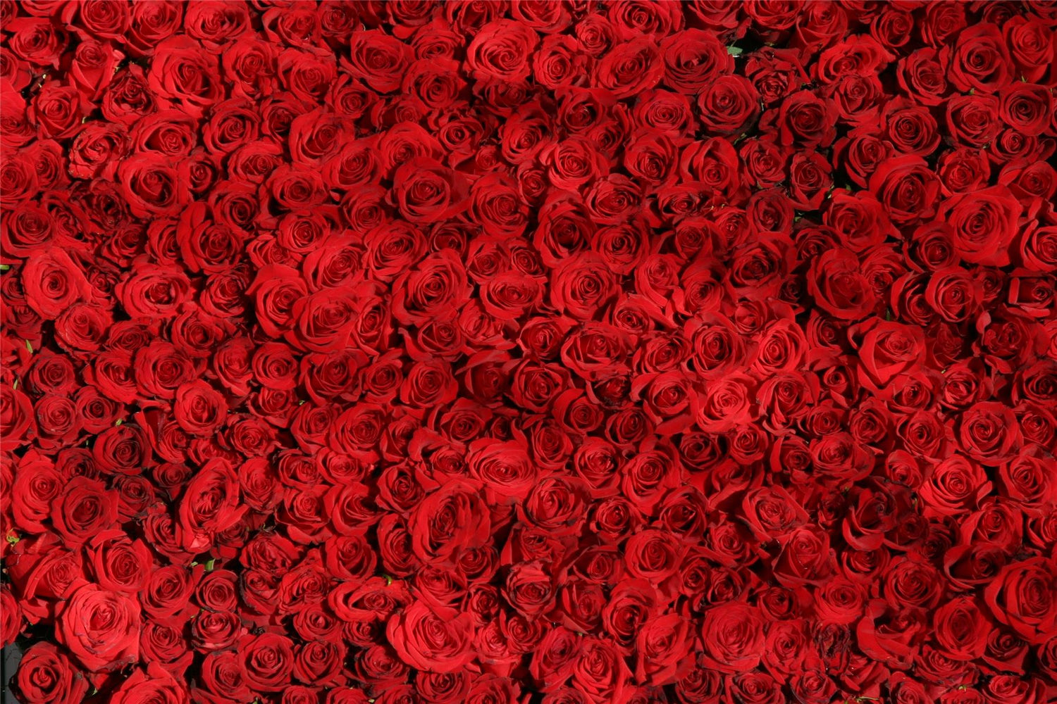 Dozens of Roses - Impuzzible No. 19 - 1000 Piece Jigsaw Puzzle