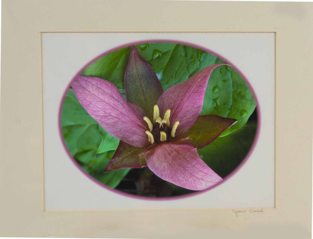"""Trillium"" Prints by Jean Breeding"