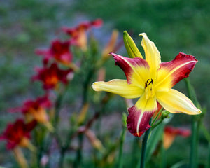 """Yellow/Burgundy Lilly"" by Robert Ellis"