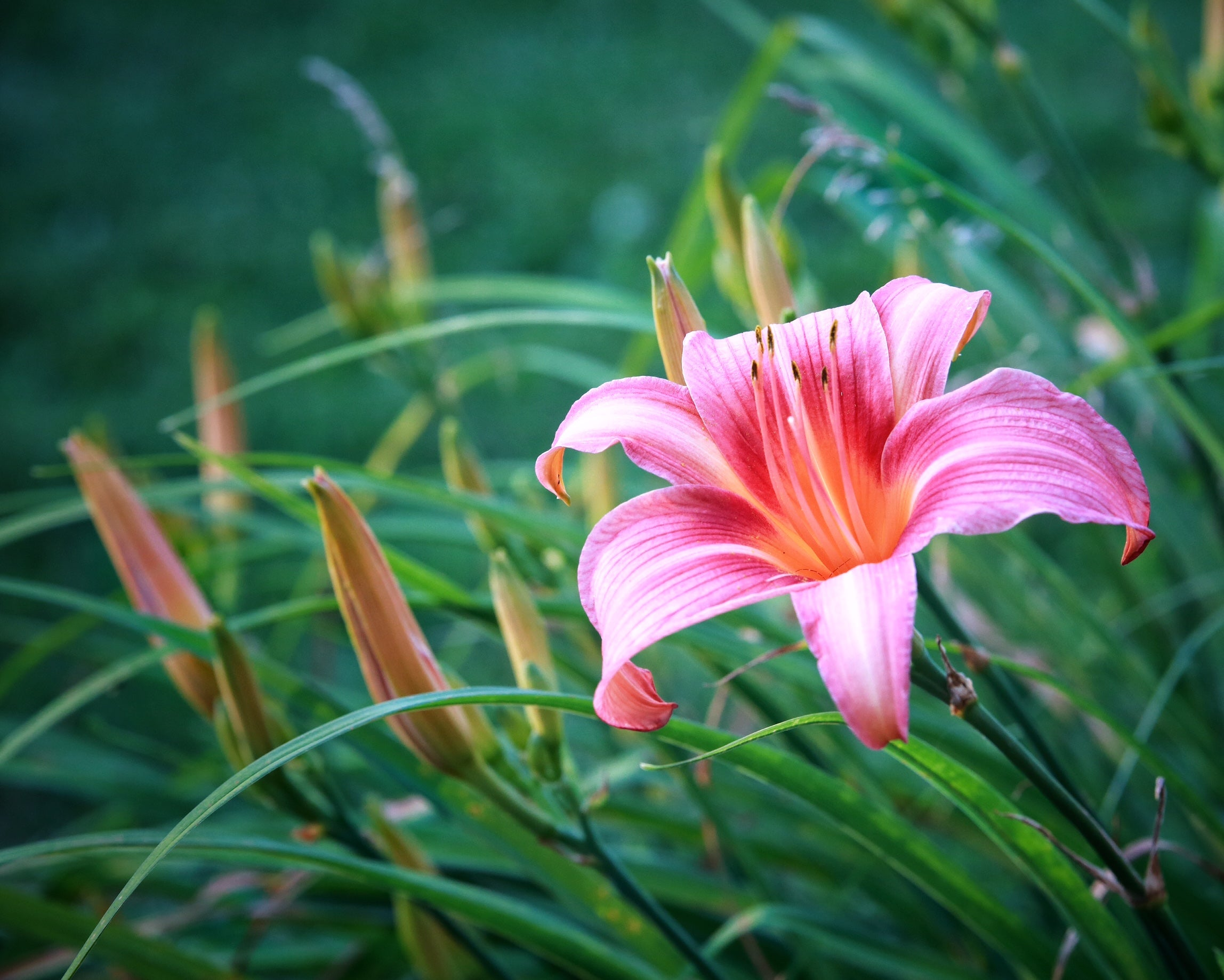 """Pink Lilly"" by Robert Ellis"