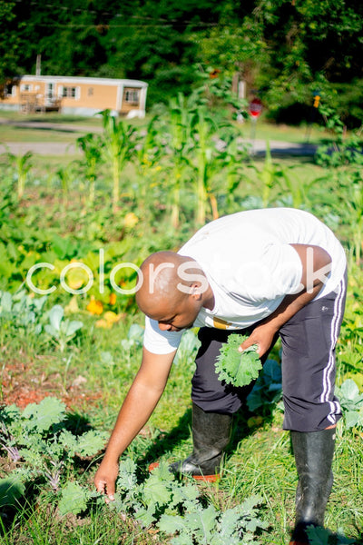 Man picking vegetables in the garden - Colorstock™  © Latoya Dixon  - diverse stock photos
