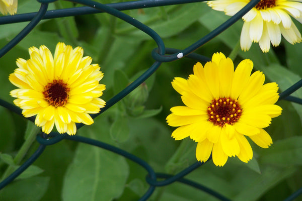 Calendula, Lemon Tall