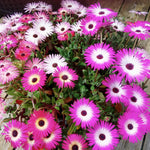 Load image into Gallery viewer, Daisy, Livingston Mixed Colours (Ice Plant)