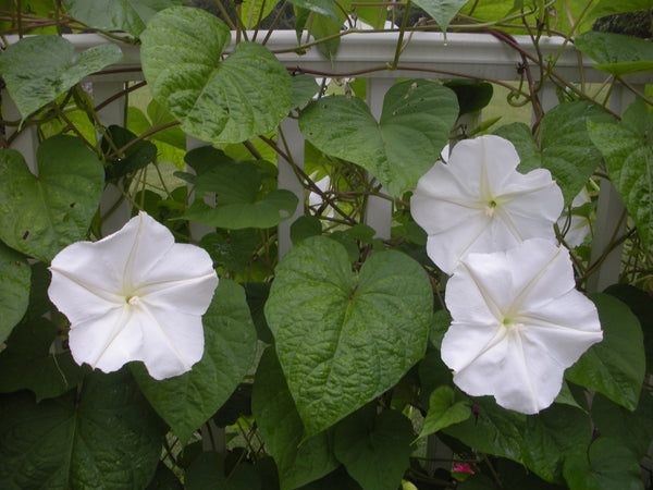 Moon Flower, Giant White