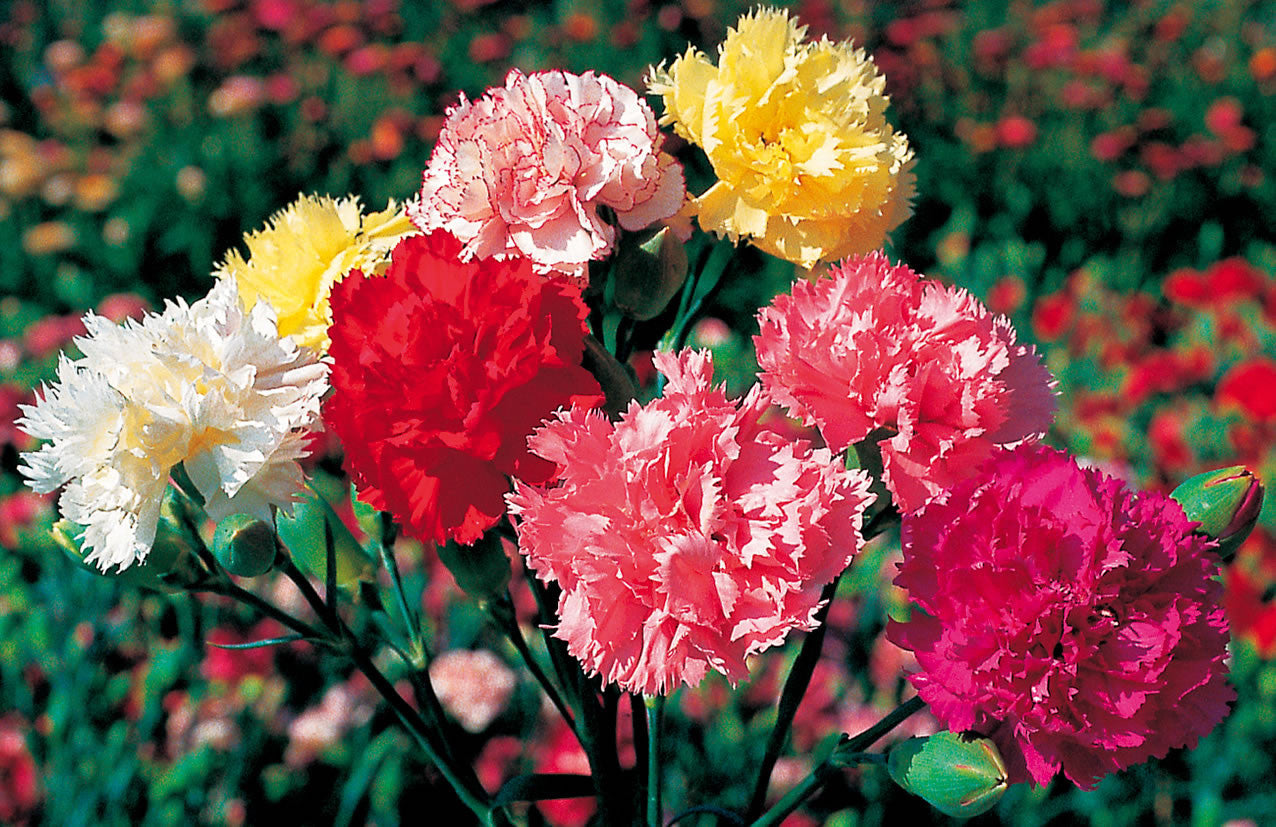 Carnation, Chabaud Mix