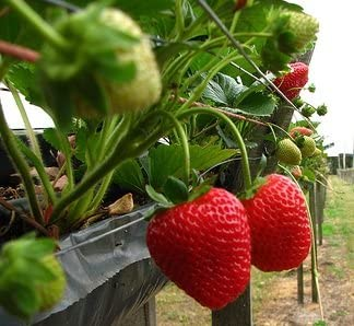 Strawberry 25 Live Plants