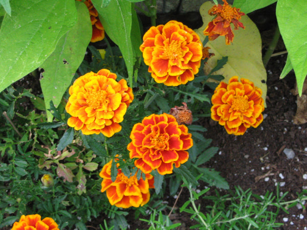 Marigold, Spanish Brocade