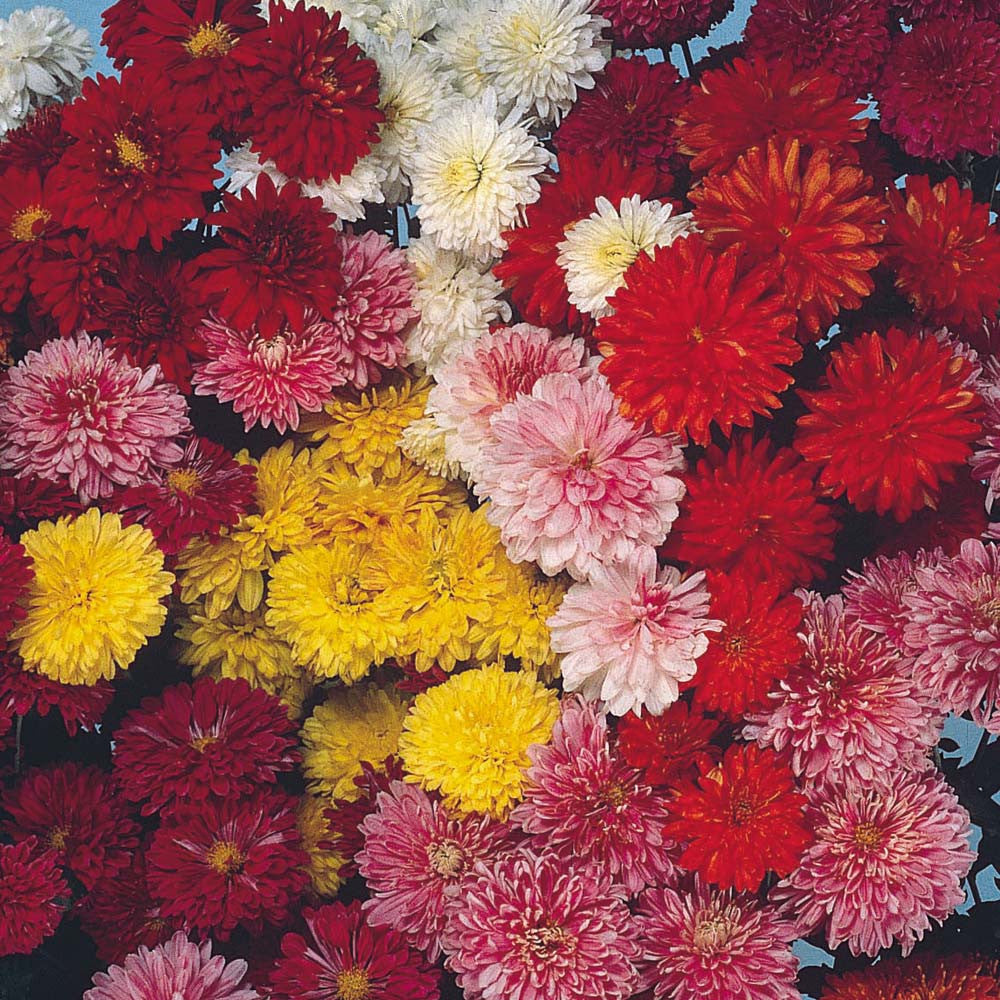 Chrysanthemum Double Mix The Seed Company By Ew Gaze