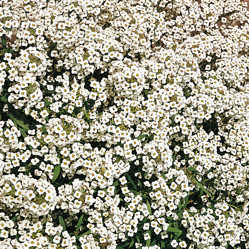 Alyssum, Sweet Carpet of Snow