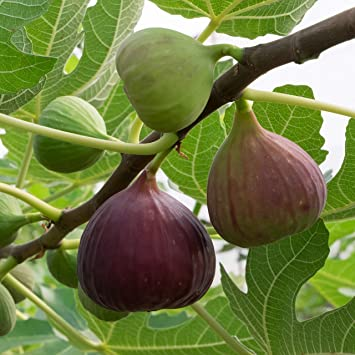 Fig Live Plant in Pot