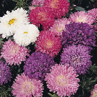 Aster, Powder Puff Mix