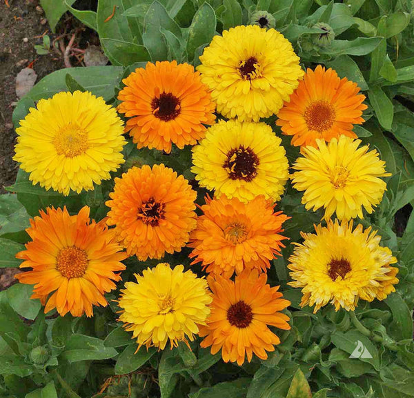 Calendula, Pacific Beauty Mix