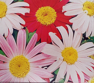 Daisy, Painted Pyrethrum Robinson's Giant Mix
