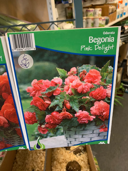 Begonia Pink Delight 1 bulb