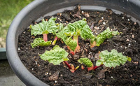 Potted Rhubarb Root