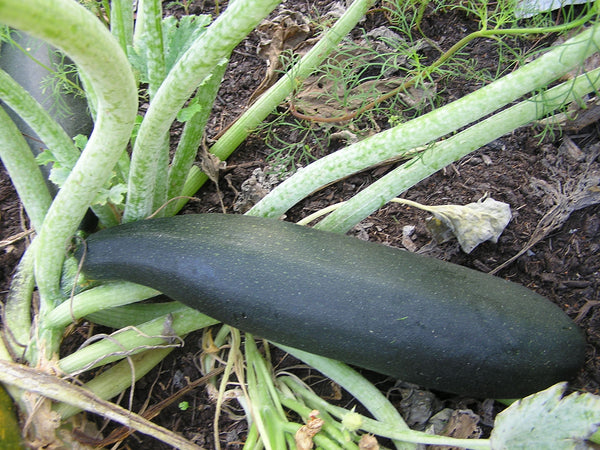 Squash, Black Beauty Zucchini