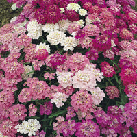 Candytuft, Dwarf Fairy Mix