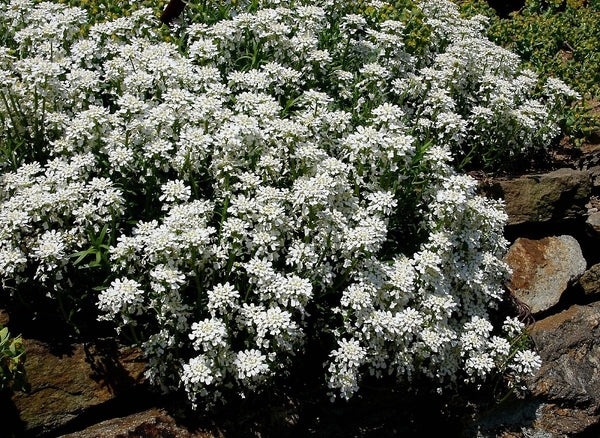 Candytuft, Iberis White