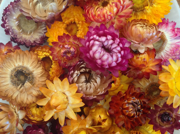 Flowers for Drying, Everlasting Mixture