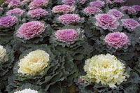 Cabbage, Flowering