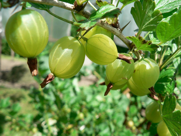 Gooseberry Live Plant in Pot - Green