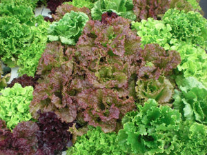 Lettuce, Ruby Salad Bowl