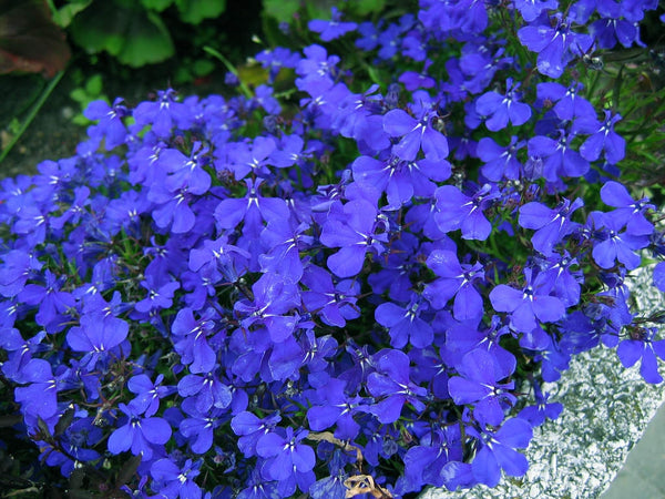 Lobelia, Cambridge Blue Bedding