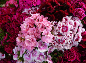 Dianthus, Sweet William Double Mixed