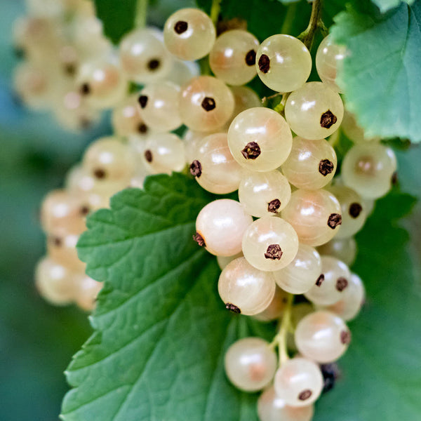 Currant Live Plant in Pot - White