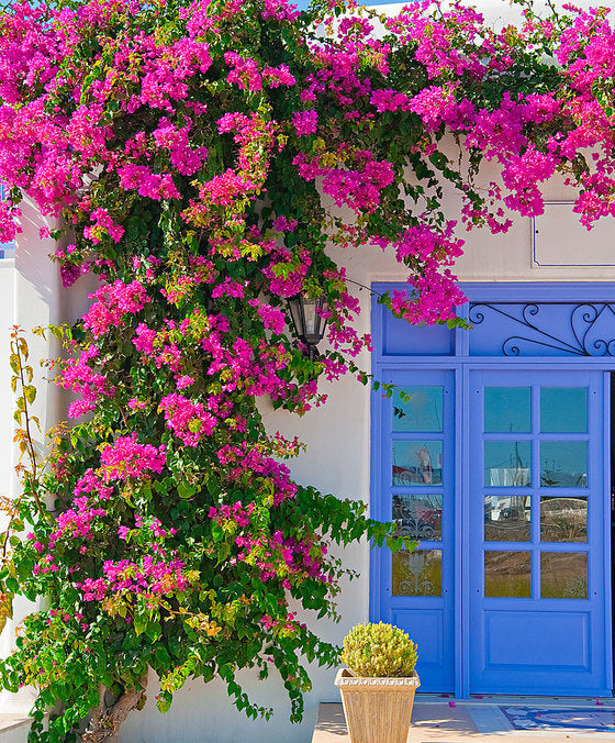 Stunning Bouganvillea! UK delivery only