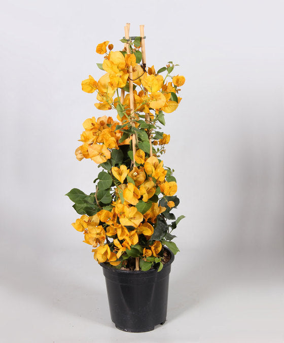 Stunning Yellow bougainvillea!