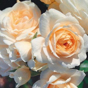 Deep apricot centred rose plant!