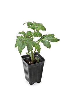 Young tomato plants! UK delivery only! (Sold out)