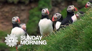 Video: Puffins, short nature video by Jim Napoli