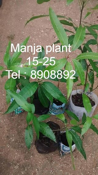 buy fruit plants in Suriname! Direct Seller, Suriname
