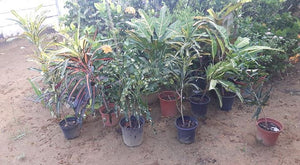 Several plants, Direct Seller, Suriname