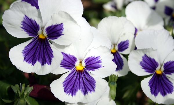 Pansy card (pack of 5)