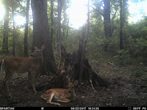 Doe and her fawn at a Max 360 Deer Mineral site