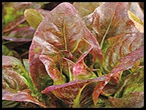 Red Deer Tongue Lettuce