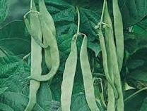 Northeaster Pole bean