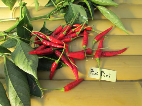 Piri Piri Hot Pepper