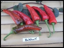 Organic Baklouti Hot Pepper