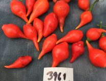 Biquinho red hot Pepper