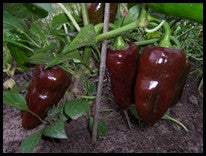 Chocolate Pepper