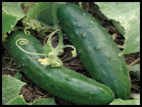 Early Russian Pickling Cucumber