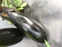 Eggplant Sons & Daughters