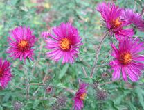 Asters Tall