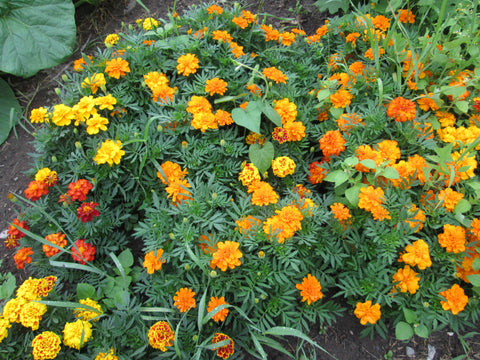 Marigold mix flowers
