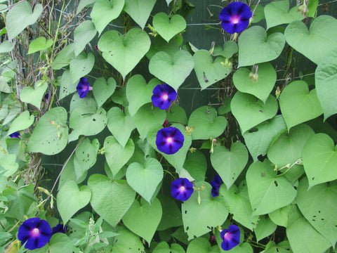 Morning Glory Grandpa Ott's flower